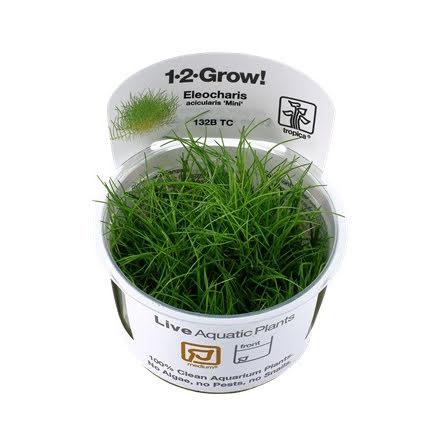 Limited Edition Eleocharis Parvula Mini 1-2-Grow