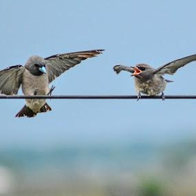 Love Attraction by Suman Basak - Animals Birds ( love, bird, flying, sky, monsoon, wildlife, attraction, animal )