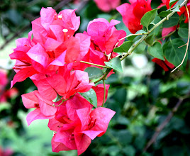 Photo: Day 322 - Bougainvillea (The Paper Flower)