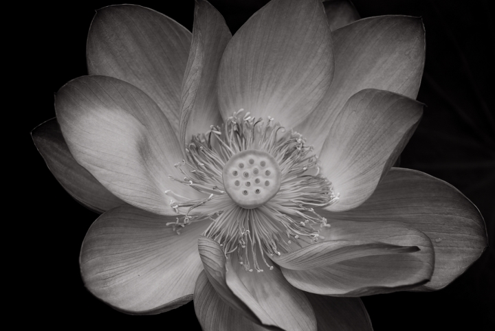 Hypnotic Lotus di photofabi77