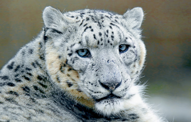 Snow leopard. Picture: GETTY IMAGES