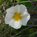 Sage-leaved rock-rose (Λευκή λαδανιά)