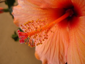"""Photo: Here is a pretty hibiscus flower that I photographed in my mom's garden in Arizona. This photograph is titled """"The Offering"""" because it reminds me of all of the wonderful things about spending time in Arizona: seeing my family, smelling clarity in the warm desert air, and feeling time as something inhumanly slow.Edit"""