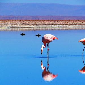 52 - Flamingos at Salar de Atacama.JPG