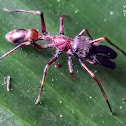 Ant-mimic jumping spider.