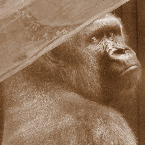 vintage ape by Marc Lawrence - Animals Other Mammals ( gorilla, sepai, old, vintage, ape,  )