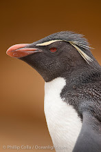 "Photo: Rockhopper penguin portrait, showing the yellowish plume feathers that extend behind its red eye in adults.  The western rockhopper penguin stands about 23"" high and weights up to 7.5 lb, with a lifespan of 20-30 years."