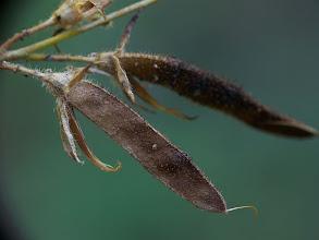 Photo: Adenocarpus telonensis