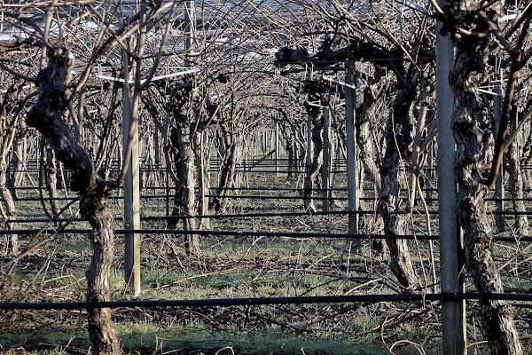 Filari di vigne nelle terre trevigiane d'inverno di Annalis©Photo
