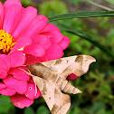Hog Sphinx Moth