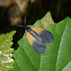 Orange-patched Smoky Moth