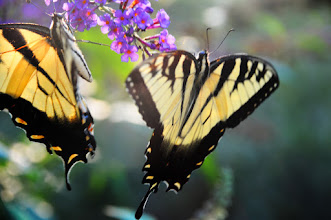 Photo: Original photo - butterflies on butterfly bush