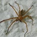 Olios huntsman spider
