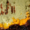Yellow-green crust fungus