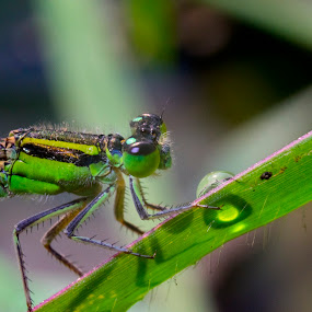 closeup of dragon fly on grass by Basant Malviya - Uncategorized All Uncategorized ( nature, insects )