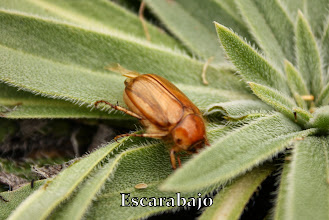 Photo: Escarabajo