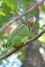 Photo: Yellow-billed Parrot