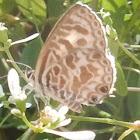Zebra Blue or Plumbago Blue Butterfly