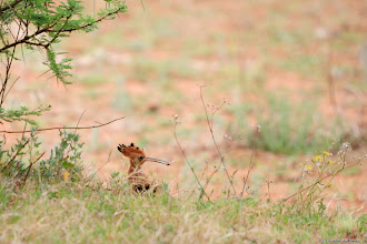 Photo: African Hoopoe (Afrikaans: Hoephoep) at the Motswedi Camp Site in the Mokala National Park