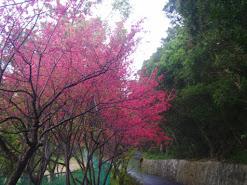 竹圍櫻花秘道