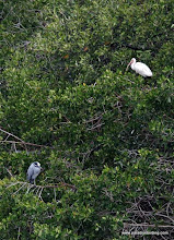 Photo: White Ibis and Yellow-crowned Night-Heron, Nuevo Vallarta