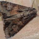 Famelica Moth / Mariposa-Famelica