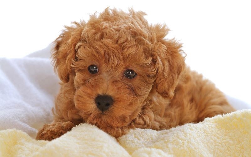 Photo: Close-up of a Toy poodle puppy
