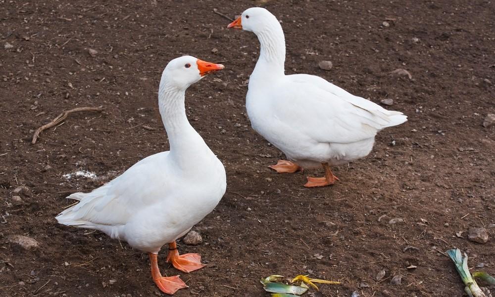 Выращивание гусей в домашних условиях. Секреты ухода.