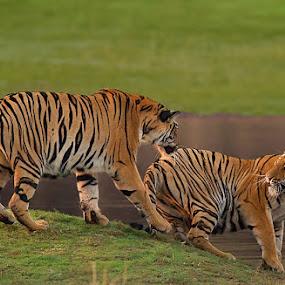 TIGER FIGHT by Jineesh Mallishery - Animals Lions, Tigers & Big Cats ( big cat, cat, tiger, jineesh )