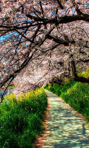 Lwp 樱花树