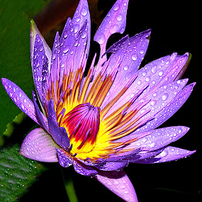 Lotus by Hafiz Ursa - Nature Up Close Gardens & Produce ( wild flower, water, water drops, purple, single lotus, purple lotus, beautiful lotus flower, yellow, 50.0mm, lotus, red, nikon d3100, single flower, beautiful wallpaper, nikon, blue lotus )