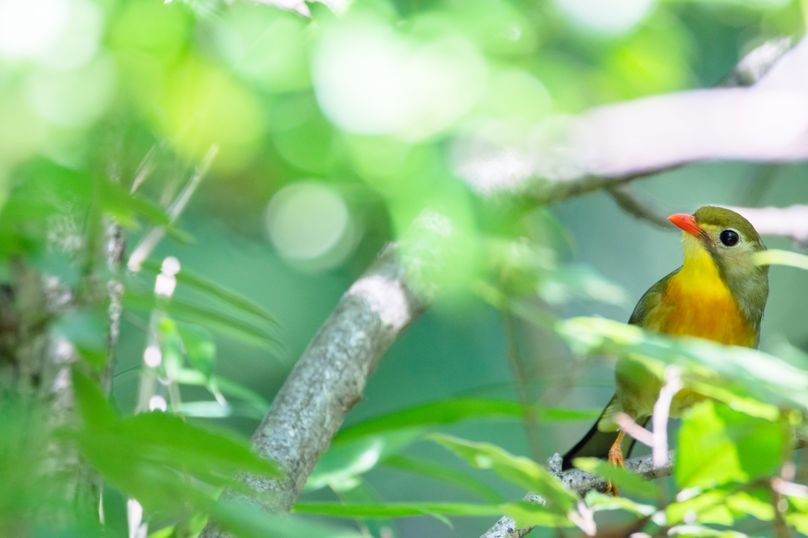 Photo: 鮮やかな森へ Vivid early summer forest.  森は雨季を迎え 空気は湿り気を帯び 空からの恵みをたくわえる 射し込む光に 息吹を溢れさせる  Red-billed leiothrix. (ソウシチョウ)  #birdphotography #birds #cooljapan #kawaii #nikon #sigma  Nikon D7200 SIGMA 150-600mm F5-6.3 DG OS HSM Contemporary  ・小鳥の詩朗読 /poetry reading https://youtu.be/a_ZWeLWqUcM?list=PL2YtHGm0-R3qVsaqvQe9OYdJFCkI98wzF