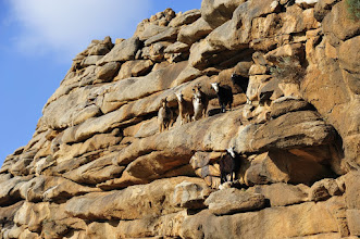 Photo: Montagne sacrée - Nous avons fait oeuvre d'utilité en constituant (manifestement) une distraction de choix pour les vrais occupants du lieu. Les chèvres mongoles, bien que néfastes pour l'environnement, sont néanmoins favorisées en raison de la qualité de