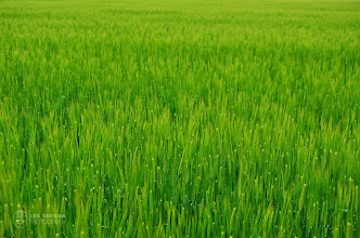 Photo: Big green rice field in Chayamachi, Japan