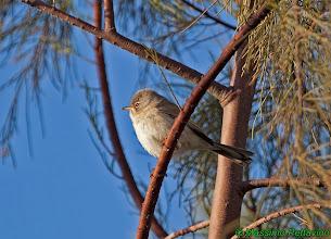 Photo: Bigia del deserto o di Tristam | Sylvia deserticola | Tristram's Warbler