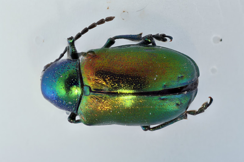 Photo: Chrysochus auratus specimen collected from Lincoln, NE, USA.