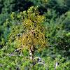 Mistletoe; Muérdago