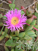 Photo: Seaside daisy, Erigeron glaucus