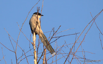 Photo: Georgy's Photo: An azure-winged magpie