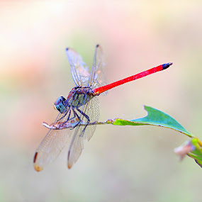 Dainty Dragonfly by Lee Newman - Animals Insects & Spiders ( beautiful creature, macro, gossamer wings, delicate, dragonfly )