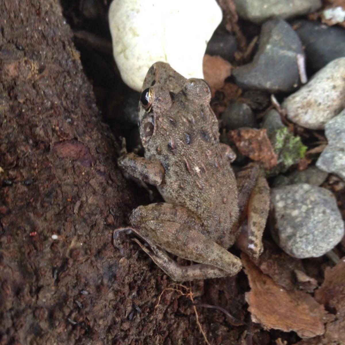 Asian Grass Frog