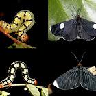 White-tipped Black Moths