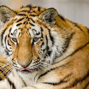 by Mike Crompton - Animals Lions, Tigers & Big Cats ( tiger )