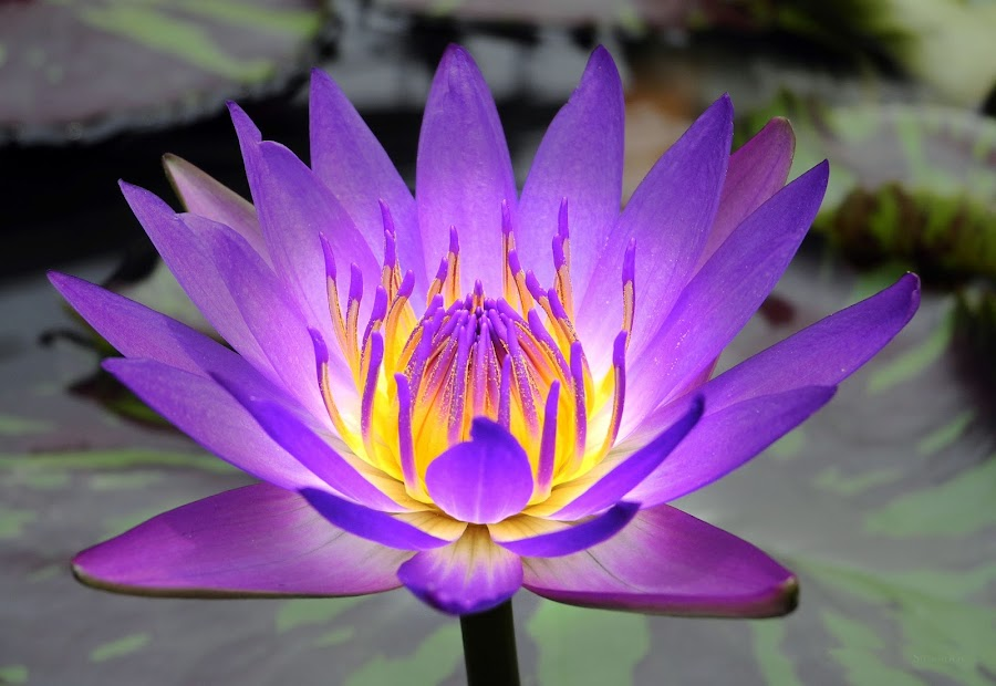 Inner Glow by Alan Chew - Nature Up Close Flowers - 2011-2013 ( pwcsummer, purple, glow in flower, alanc, water lily, , yellow, color )