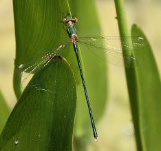 Photo: Lestes viridis