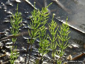 Photo: Marsh horsetail (Equisetum palustre)