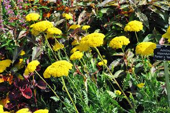 Photo: Achillea filipendula 'Parker's Variety' RHS gardens Wisley