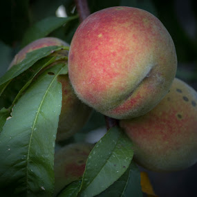 Sweet peaches by Nena Volf - Food & Drink Fruits & Vegetables ( bio, peaches, natural,  )