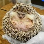 big mega hedgehog at hedgehog cafe HARRY in Tokyo in Tokyo, Tokyo, Japan