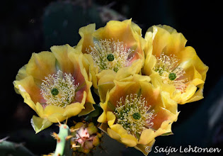 Photo: Good Monday morning...:))  It was a fun weekend & got some great shots... now to start editing them!  Saija Lehtonen Photography  #CactusFlowers #Cactus #Arizona #Southwest #PricklyPear #Nature #Photography #Floral